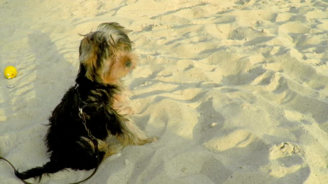 A Small Yorkshire Dog Sitting on the Sand. video