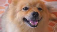 Smiley Face Pomeranian Dog video