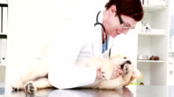 Smiling female vet playing with cute puppy video