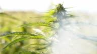 SLO MO Smoke blowing at the hemp plant video