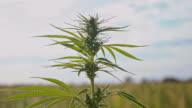 SLO MO Smoke blowing at the hemp plants video