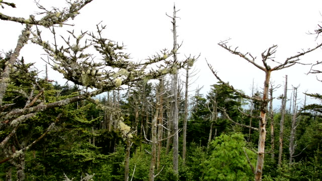 Smoky Mountain Tree with Lichen video