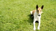 Smooth Collie pet dog lying on the lawn video