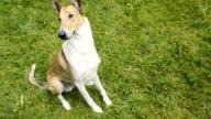 Smooth Collie pet dog sitting on green lawn. video