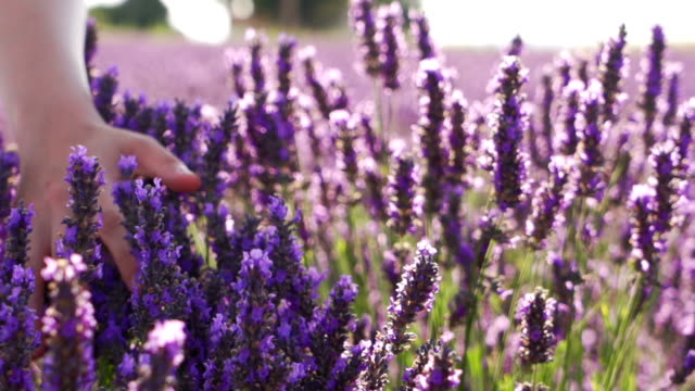 Smooth touching Lavender flower slow motion video