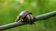 Snail crawling on a branch video