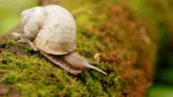 Snail crawling over moss video