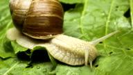 Snail eating lettuce video