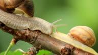 snail on a branch video