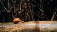 Snail on bamboo branch video