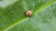 Snail on banana palm green leaf video