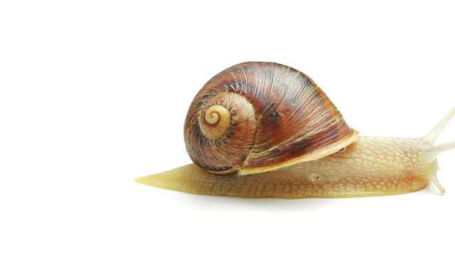 Snail on white background video