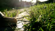 Snail walking on the grass video
