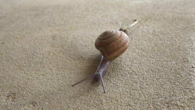 Snail walking slowly on concrete floor video