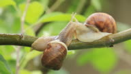 snails on a branch video
