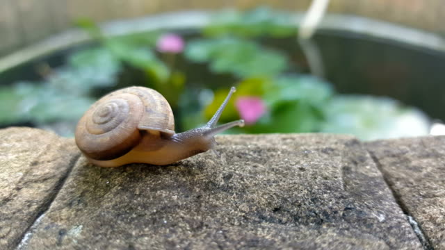 Snail,slug slow walk pass the garden video