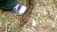 Snake crawling on the ground video