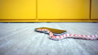 Snake crawling on the phone video