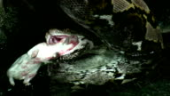 HD: snake devour rat video