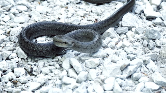 Snake on stony ground video