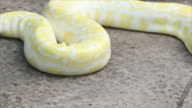 Snake Python video