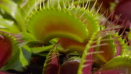 CLOSE UP: Snap trap carnivorous plant video