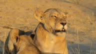 Snarling lioness video