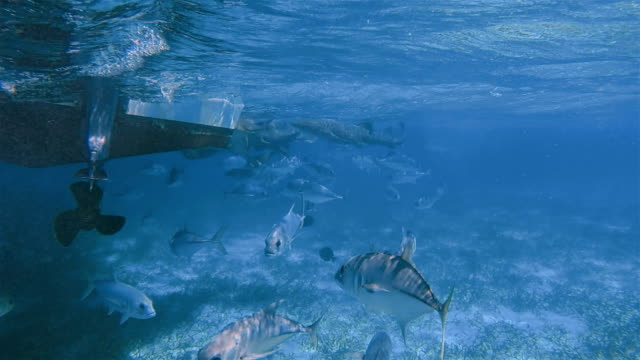 Snorkel Trip with feeding nurse sharks and Horse-Eye Jack (Caranx latus) fish on Shark Ray Alley Marine Reserve in Caribbean Sea - Belize Barrier Reef / Ambergris Caye video