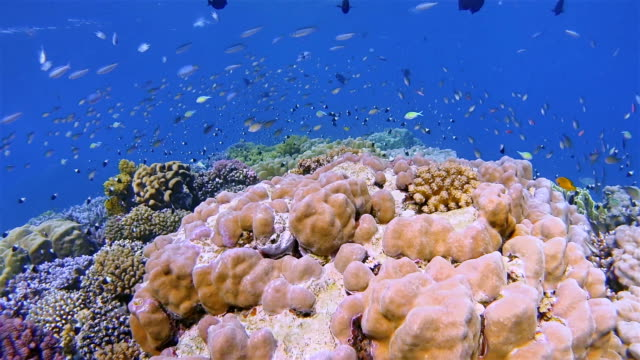 Snorkeling on beautiful coral reef with lot of tropical Fish on Red Sea nearby Marsa Alam video