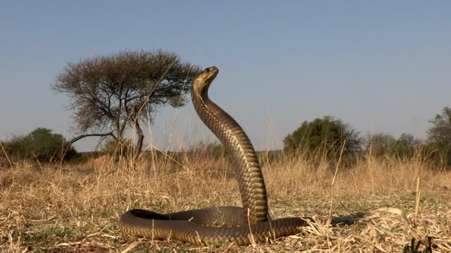 Snouted cobra with spread hood in aggressive posture video