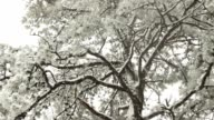 Snow and Pine Tree, Looking Up video