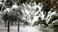 Snow and pine tree video