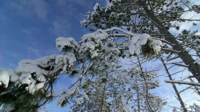 Snow covered pine trees in winter forest pan shot video