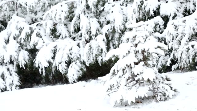 snow covered trees, winter snow storm video