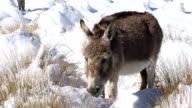 Snow Donkey video