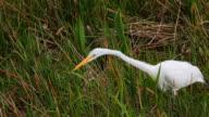 snow egret in the Everglades video