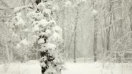 Snow Falling in Blizzard and Pine Trees in Winter (Video) video
