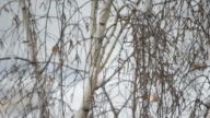 Snow falling on background of leafless birch tree in winter video