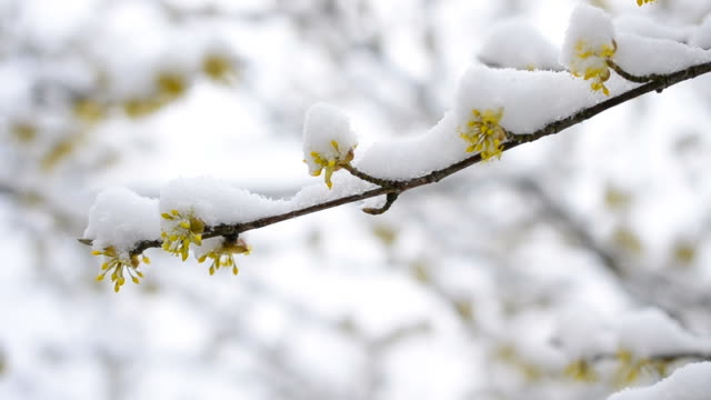 Snow falling on cornealian cherry flowers video