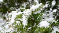 Snow falling on evergreen thuja branch blown by wind video