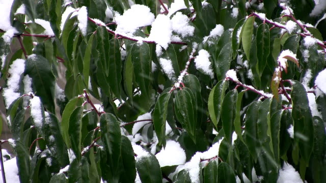 Snow falling on green leaves. video