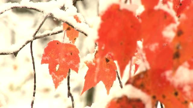 snow falls by orange leaves video
