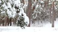 Snow falls from the branches of pine trees. video