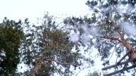 Snow falls from the high pine tree. video