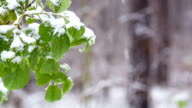 Snow falls on green leaves in the forest. video