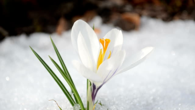 snow flower spring video