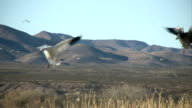 HD: Snow Geese Activity video