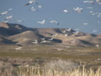 NTSC: Snow Geese at Bosque del Apache video