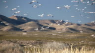 HD: Snow Geese at Bosque del Apache video