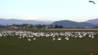 Snow Geese Flock in Skagit Valley video